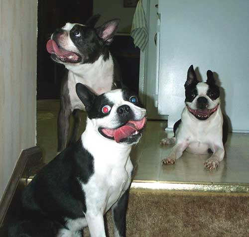 Clye & Hoover: The world\'s Toughest & Sweetest Boston Terriers